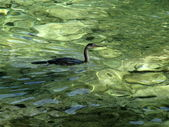 Sea bird swims and hunts small fishes in emerald green water of Vahti beach, Thassos, Greece — Foto de Stock