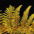 Royalty-Free Stock Photo: Golden fall fern in sunlight against black background