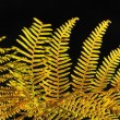 Golden fall fern in sunlight against black background — Stock Photo