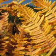Golden ferns in autumn sunlight — Stock Photo