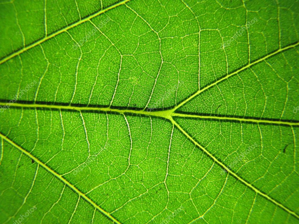Macro shot of fresh, green leaf   Stock Photo #14804953