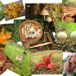 Collage mushrooms -  parasol, puffball and other edible or outlandish mushrooms - Stock Photo