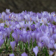 Stock Photo: Crocus spring flowers in field over black