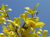 Forsythia or Golden Bells and blue sky — Stock Photo