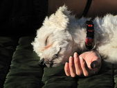 Friendship and confidence - white Maltese dog with red necklace sleeps on girl's hand — Stock Photo