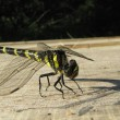 Orthetrum cancellatum or black-tailed Skimmer dragonfly sunbathing on the plank - Stock Photo