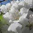 Macro shot of spring cherry bloom branches — Stock Photo