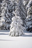White fir tree on white snow surface and fir forest in background — Stock Photo