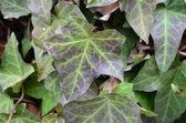 Macro shot of green ivy climbing plant — Stock Photo