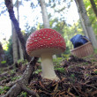 Toxic Fly agaric mushroom or Amanita Muscarea — Stock Photo