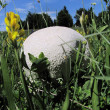 Stock Photo: Giant eatable, delicious puffball on mountain meadow