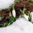 Stock Photo: Spring snowdrop burgeons growing through snow