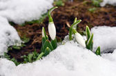 Spring snowdrop burgeons growing through snow — Stockfoto