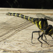 Black-tailed Skimmer dragonfly - Stock Photo