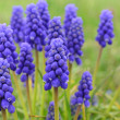 Stock Photo: Grape hyacinth flowers