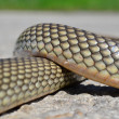 Non- poisonous Aesculapius' snake — Stock Photo