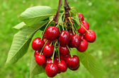 Cherries on a branch 1 — Stockfoto