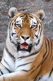 Tiger 2 — Stock Photo