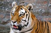 Tiger 1 — Stock Photo