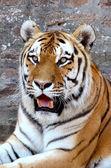 Tiger 3 — Stock Photo