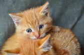 子猫 — ストック写真