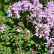 Wild Thyme — Stock Photo