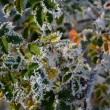 Frosty wild rose leaves — Stock Photo