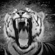 Stock Photo: Tiger b&w