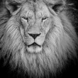 Dangerous lion b&w — Foto Stock