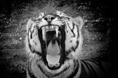 Tiger b&w — Stock Photo