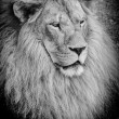 Stock Photo: Old lion bw