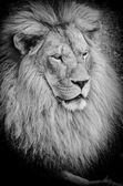 Old lion bw — Stock Photo