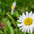Small daisy — Stock Photo