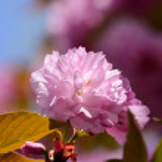 Постер, плакат: Sakura flower
