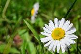 Petite daisy — Photo