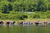 Cow grazing at lake — Stock Photo