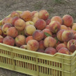 Collection of fresh ripe peach fruits — Stock Photo