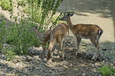 Two young roes and fawn — Stock Photo