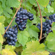 Black juicy vinous grapes — Stock Photo