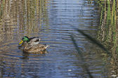 Beauty two mallard ducks — 图库照片
