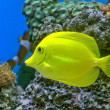 Gold fish and colorful coral reef — Stock Photo