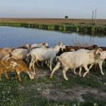 ������, ������: A herd of goats