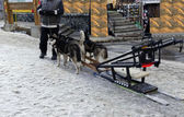 Team of dogs ready pulling dogsled — Stock Photo