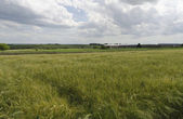 Summer-time landscape with wheat field — Stock Photo