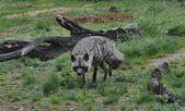 Striped hyena — Stock Photo