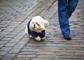 Joven mujer caminando con su mascota. — Foto de Stock