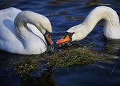Two white beautiful swans in love swimming on water — Stock Photo