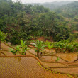 Rice terrases in Java, Indonesia — Foto de stock #13379666