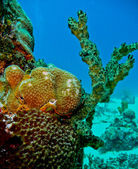 Colourful coral at San Andres, Colombia — Stock Photo