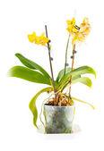 Orquidea amarilla. flor habitación en maceta transparente — Foto de Stock